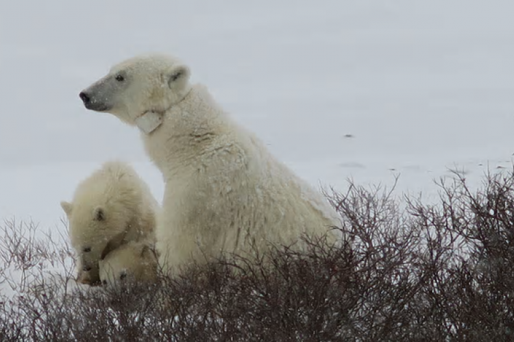 Collared polar bears in The Arctic Live